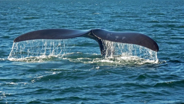 Southern_right_whale_caudal_fin-2_no_sky